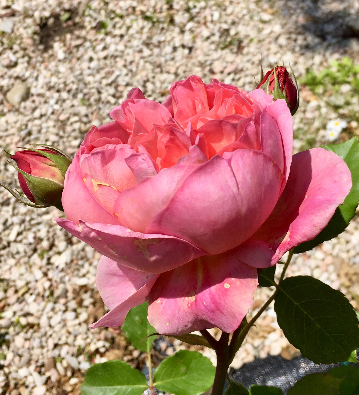 Rose Da Taglio Rifiorenti rosa boscobel inglese - vittori vivai forlì cesena - vittori