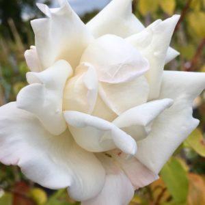 mrs herbert stevens fiore