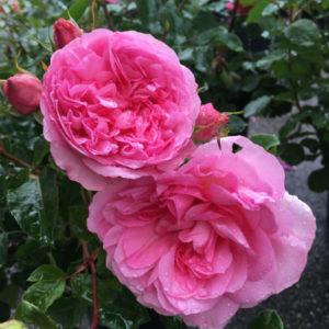 roseraie-du-chatelet