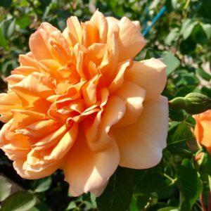 Rosa Dame Judi Dench