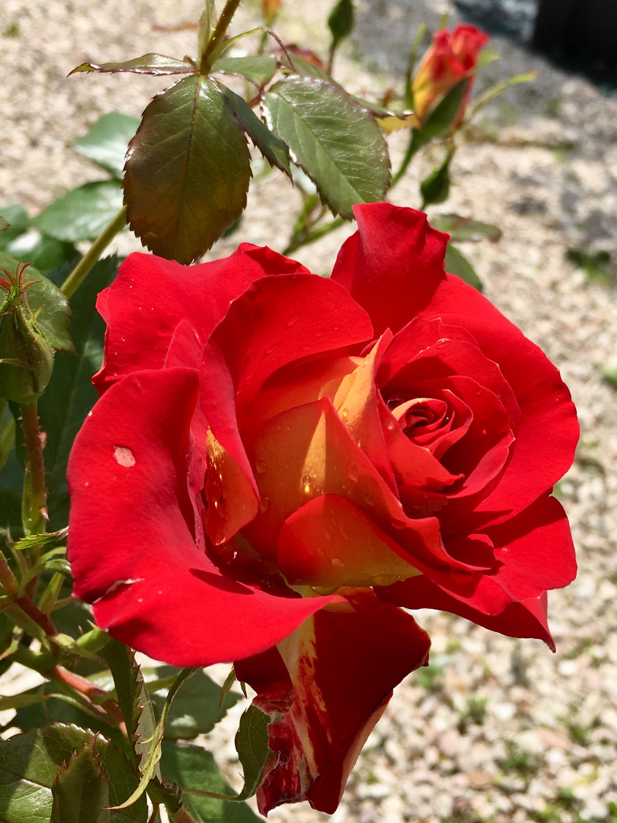 Rose Da Taglio Rifiorenti rosa ketchup & mustard bicolore - vittori vivai forlì cesena